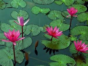 Lotus Plants For Ponds Bright Colorful Lotus In The Pond Jpg Hi Res 720p Hd