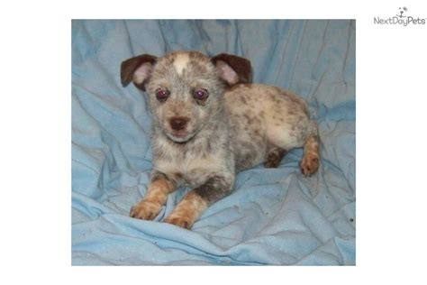 mini australian cattle puppies for sale size miniature heeler australian cattle blue heeler puppy for sale