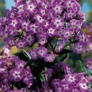 anna s perennials fall flowering perennials fall blooming perennials