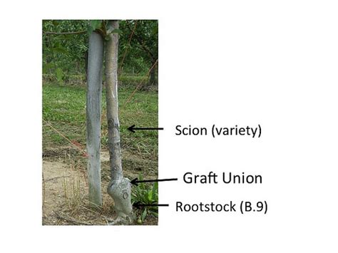 scion and rootstock parts of the apple tree scion graft union and rootstock