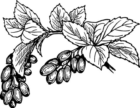 Tembakau Rawing free vector graphic barberry berries fruit plant free image on pixabay 37616