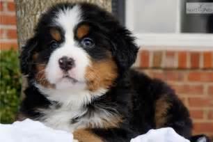 Bernese mountain dog puppy for sale near st louis missouri 284dcf2d