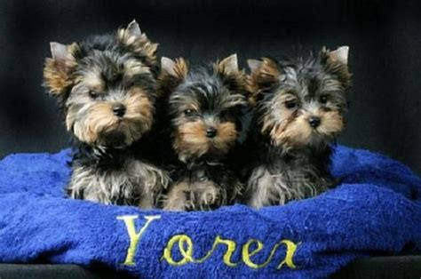 raising a yorkie puppy 1000 images about yorkie baby on terrier yorkie puppies