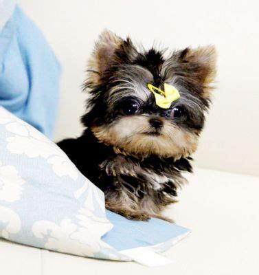 micro teacup yorkie grown yorkie maltese mix puppy buddy breeds picture