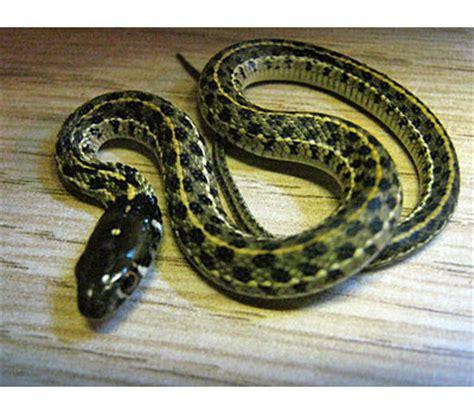 Garter Snake Green Black Chequered Garter Snake Snakes Livestock Blue Lizard
