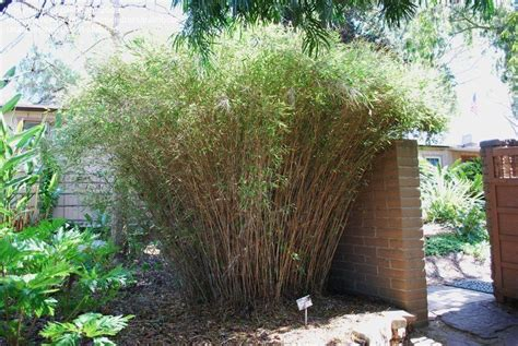 Quail Park Botanical Garden Plantfiles Pictures Blue Bamboo Hardy Blue Bamboo Fargesia Nitida By Rickwebb
