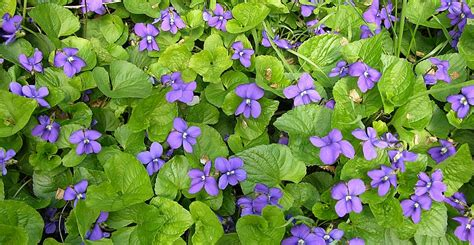 new jersey state flower common meadow violet treknature meadow violet photo