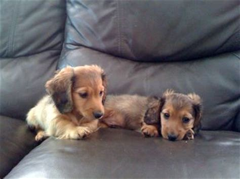 dachshund puppies for sale in alabama miniature haired dachshund puppies for sale in alabama breeds picture