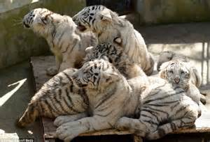 new year animal tiger white tiger cub perfects his roar at zoo with his