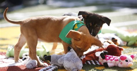 puppy bowl live how to puppy bowl 2017 live tv channel time fox sports