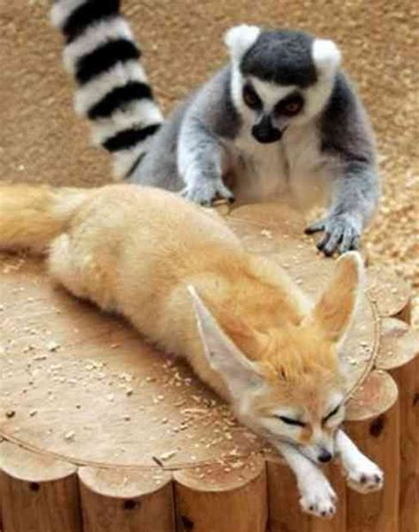 tails of a mischievous wiener pippin travels in time books 17 best images about i am a lemur on