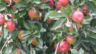 fruit tree scions for sale heritage apple trees scion wood for sale grafting