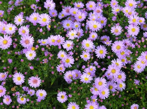 fiori astri astri ovvero i settembrini pollicegreen