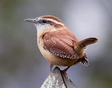 247 best cheeky wrens images on pinterest bird art bird