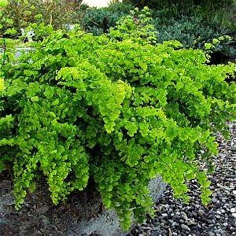 berbudidaya tanaman hias tanaman adiantum suplir