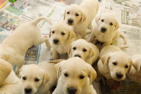 a bunch of puppies bunch of puppy labradors friends