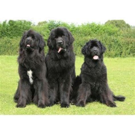 newfoundland puppies for free newfoundland breeders in the uk freedoglistings uk
