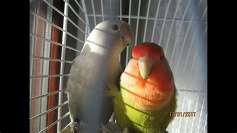 gabbia inseparabili facciamo uscire dalla gabbia gli inseparabili