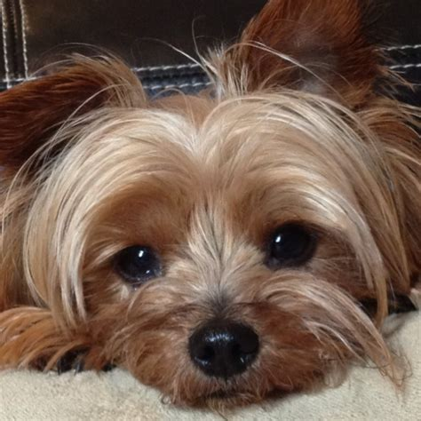 when is a yorkie no longer a puppy 5 problems only terrier owners will understand