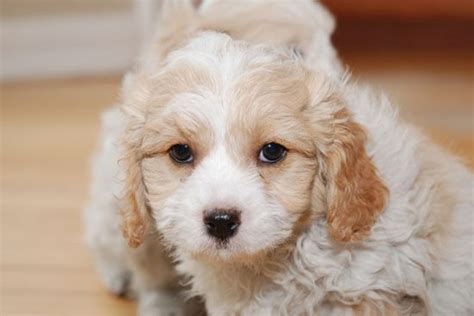 cavachon puppies for adoption pin cavachon puppies for adoption on