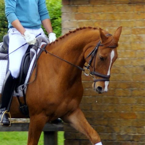 hanoverian horses for sale daviano hanoverian for sale at witcham house farm