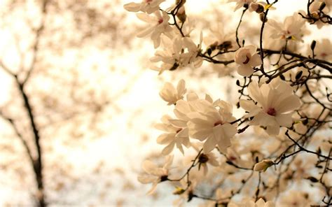 magnolia wallpaper magnolia wallpapers wallpaper cave