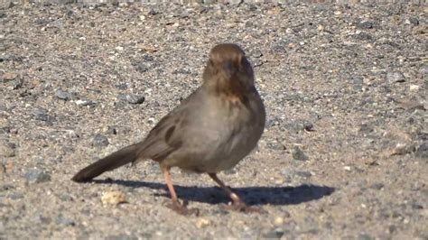 birds of orange county california towhee youtube