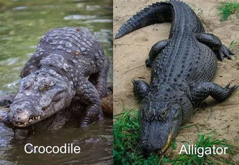 alligators and crocodiles national crocodiles and alligators 28 commonly confused animals mnn mother nature network