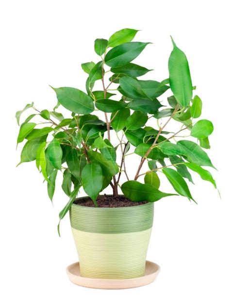 sprout of favourite indoor green decorative plant quot ficus