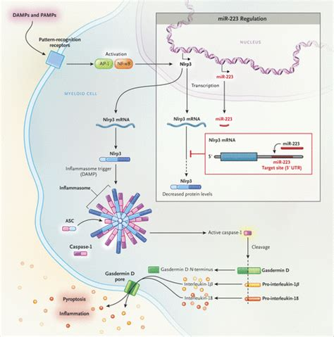pattern recognition receptors youtube inflammatory bowel disease and the nlrp3 inflammasome nejm