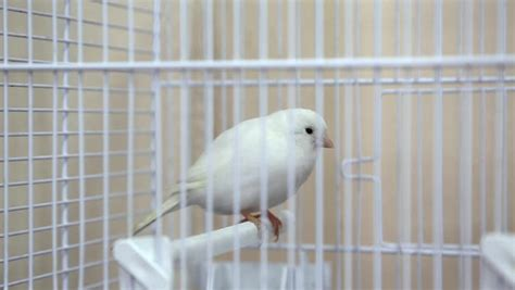 canary bird cage stock photos white canary bird in the cage stock footage video 5947118