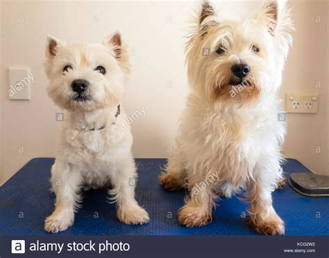 get westies hair white scruffy hair stock photos scruffy hair stock images alamy