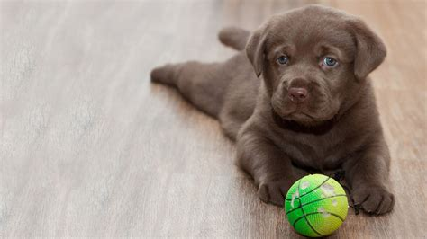 puppy wallpaper hd puppy wallpaper wallpapersafari