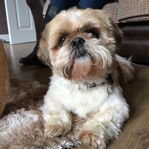 shih tzu for sale in lincolnshire shih tzu for sale spalding lincolnshire pets4homes