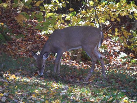 deer in backyard wild deer in backyard animal