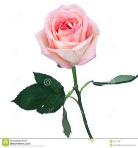 single long stemmed perfect pink rose stock photo image