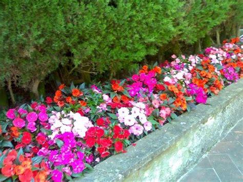 fiore nuova guinea nuova guinea fiore piante annuali caratteristiche
