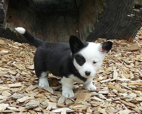 white corgi puppies for sale 17 best images about corgi puppies on pembroke corgi corgis and