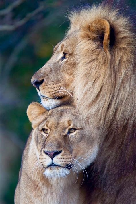 lion and lioness love tattoo www imgkid com the image