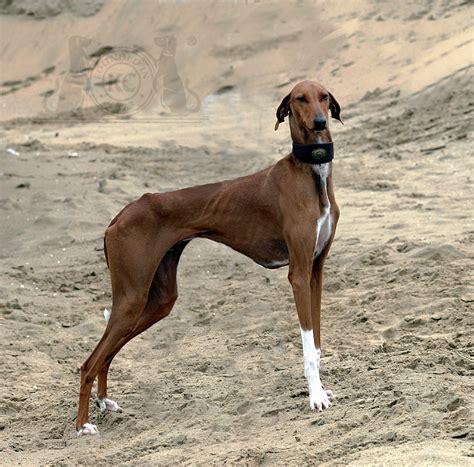 fotos de pollas con boxer las 10 razas de perros m 225 s curiosas c 243 mo educar a un