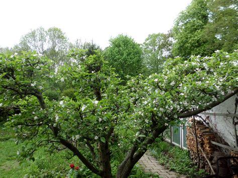 der apfel im garten apfelbaum 187 gartenbob de der gartenratgeber