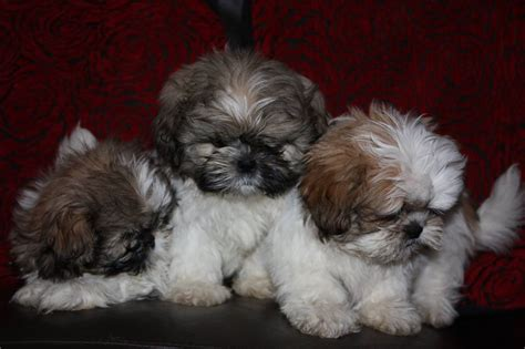 shih tzu puppies for sale papers quotes