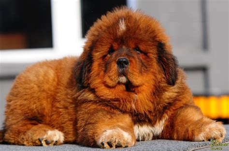 puppy prices tibetan mastiff price