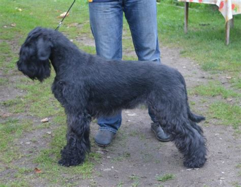 schnauzer puppies for sale in indiana puppies for sale southern alberta breeds picture