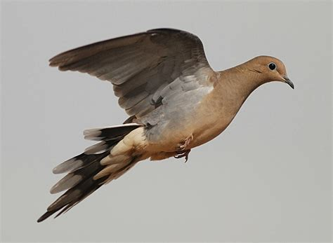 how to a to dove hunt where to go dove seminar set for aug 29 at bass pro shops 976 hunt