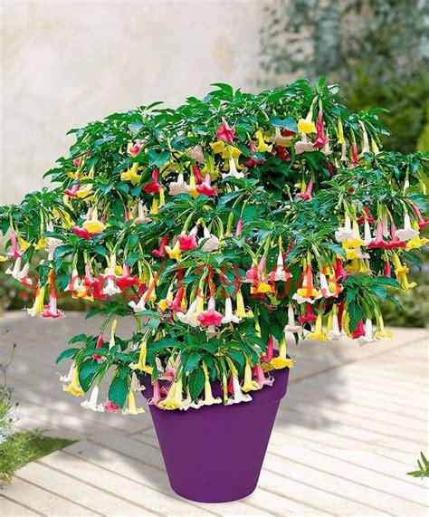 garden flower seeds 100 datura seeds mini bonsai flower seeds for home garden