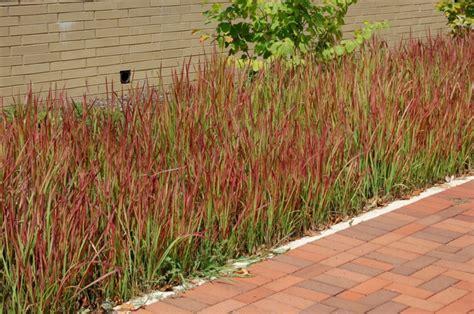Pflanzen Garten Ohne Pflege by Japanisches Blutgras Im Garten Pflanzen Ein Feuerroter
