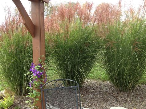 planting and dividing ornamental grasses on the cheap
