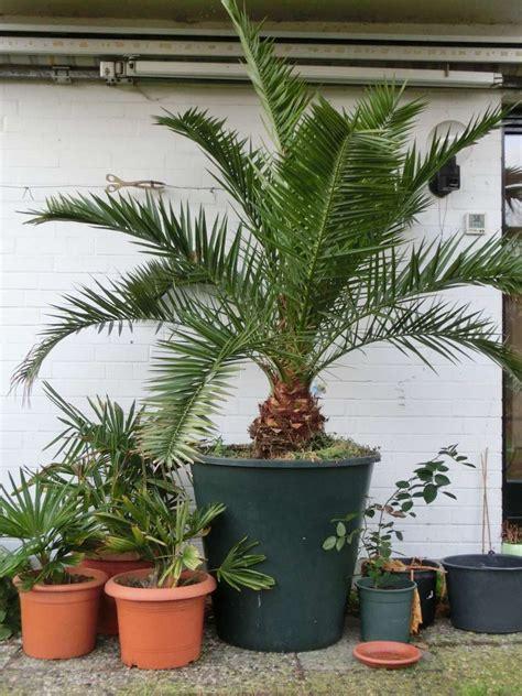 pflanzen winterfest einpacken palmen winterfest machen gartenpalmen winterfest machen