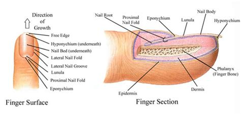 what is a nail bed nail anatomy explained easy nail art